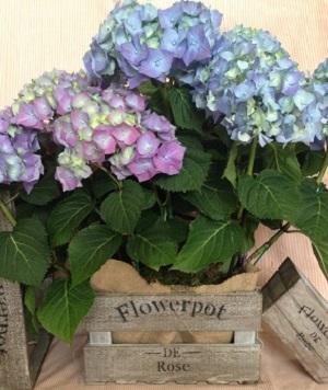 Caja Hortensias grande
